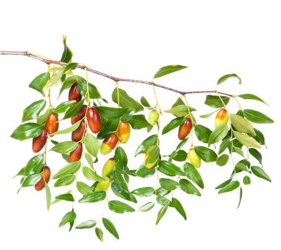 Chinesische Dattel, Fructus Jujubae, Jujubenfrüchte