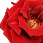 Die Rose und ihre Heilwirkungen