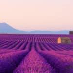 Lavendel - Eine besondere Arzneipflanze